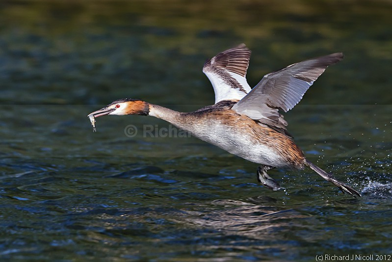 Great Crested Grebe (Podiceps cristatus) with prey - ARPS Panel