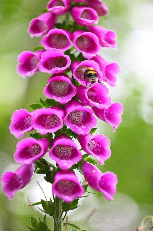 Foxglove visitor            ref 8015 - Close up images