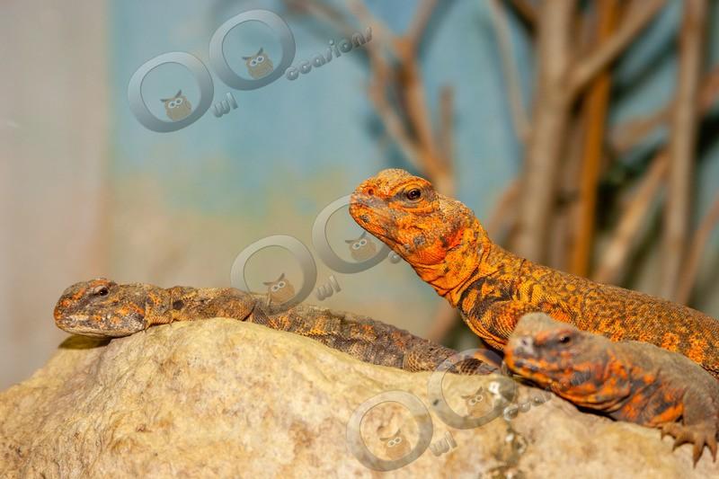 spiny-tailed lizard euromastix-4529 - Pet Photography