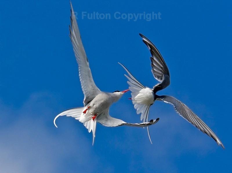Artic Tern Aggression - Nature