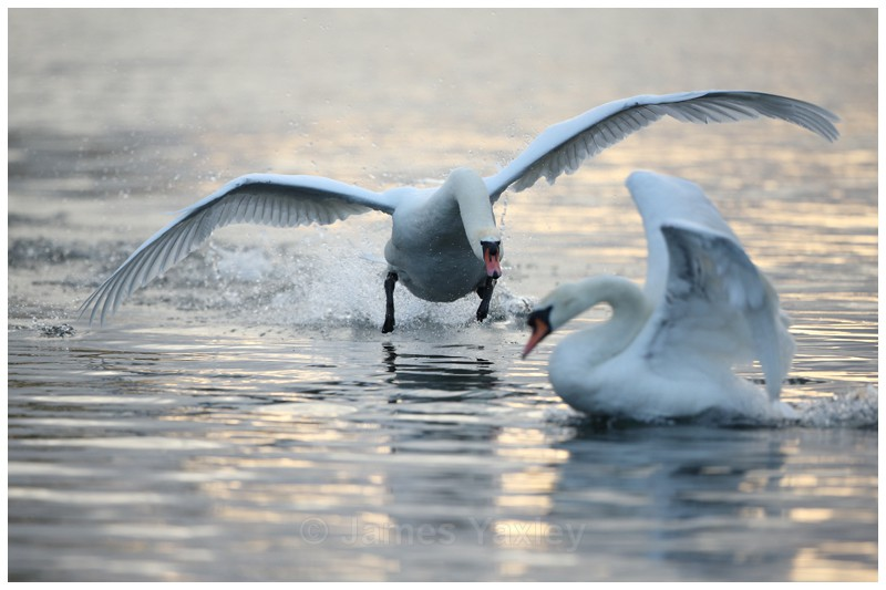 Mute Swan Charging - Latest Work