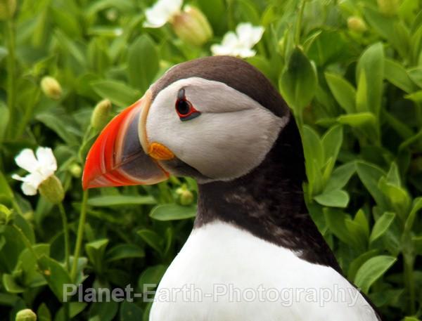 Farne Island Puffin 4 - Puffins