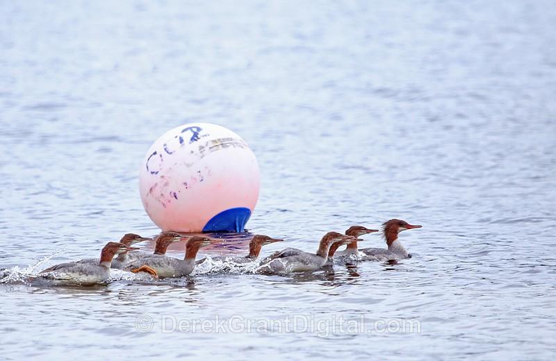Common Mergansers - Birds of Atlantic Canada