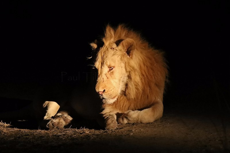 African lion - Big cats