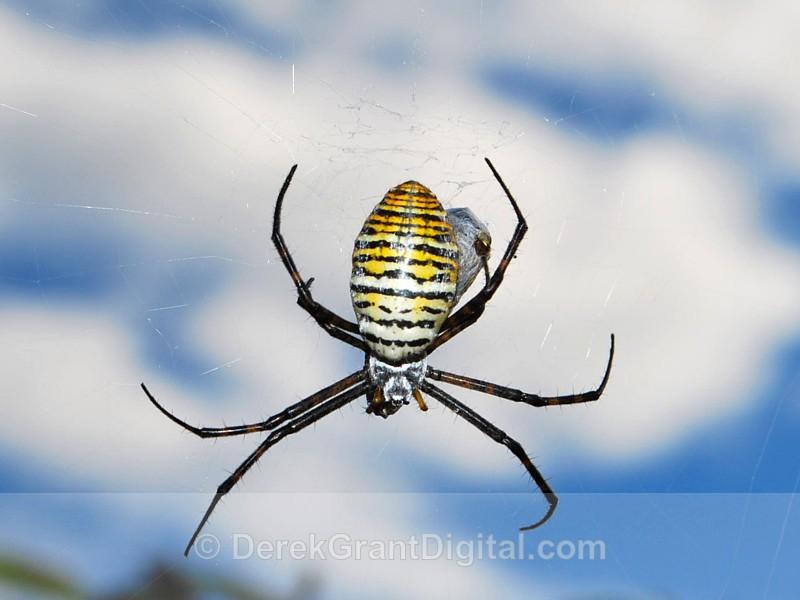 Banded Garden Spider (female) - Spiders of Atlantic Canada