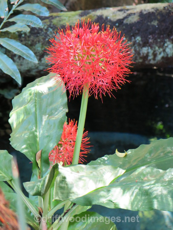 South Africa Cape Town National Botanical Garden flower 1 - Cape Town, South Africa