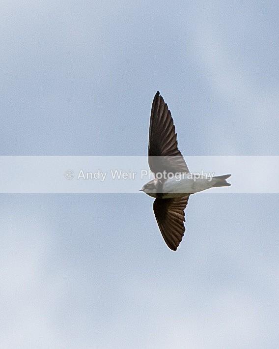 20110619-IMG_4721 - Swallows, Swifts & Martins