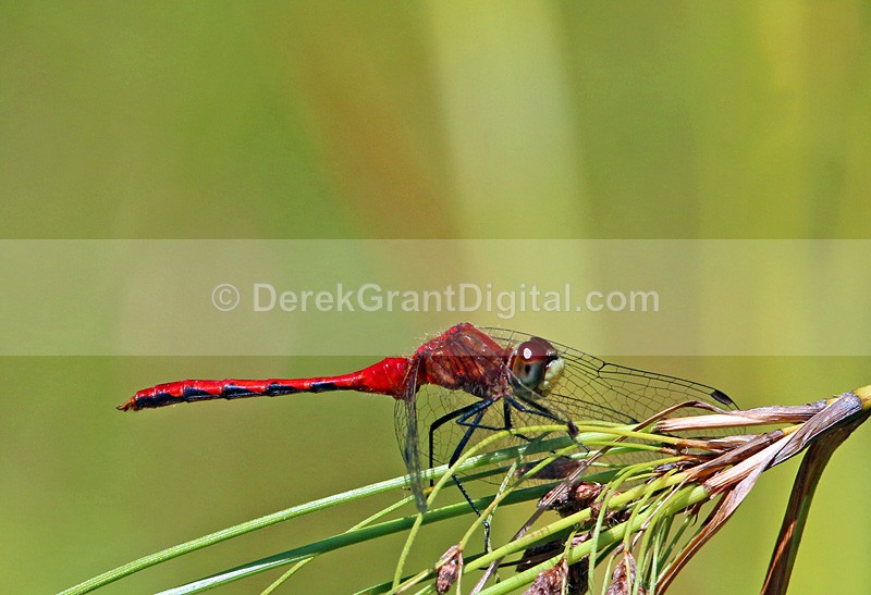White-faced Meadowhawk(m) - Dragonflies of Atlantic Canada
