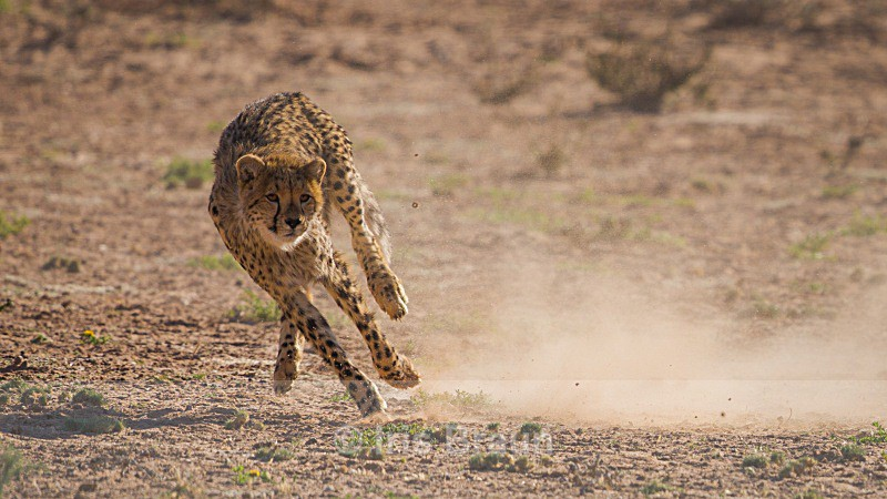 Speed - Cheetah