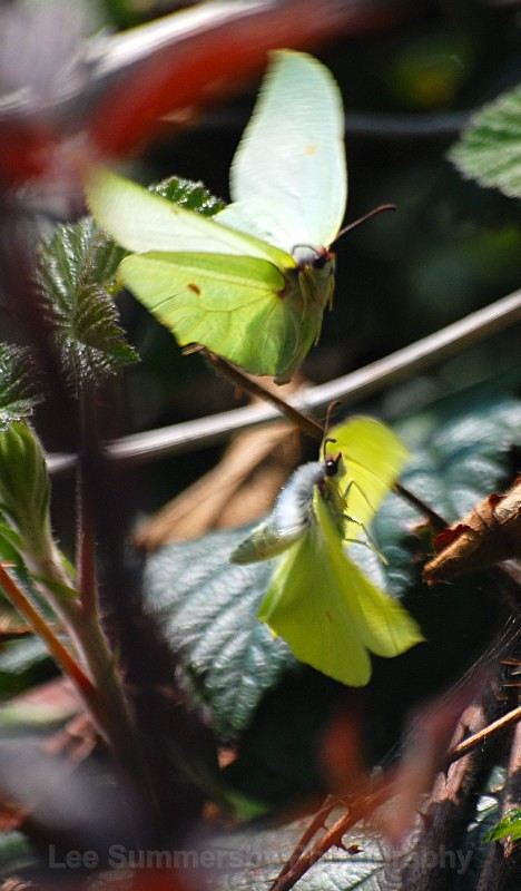 Dancing Brimstones, Stover Park, Newton Abbott - Butterflies and Moths