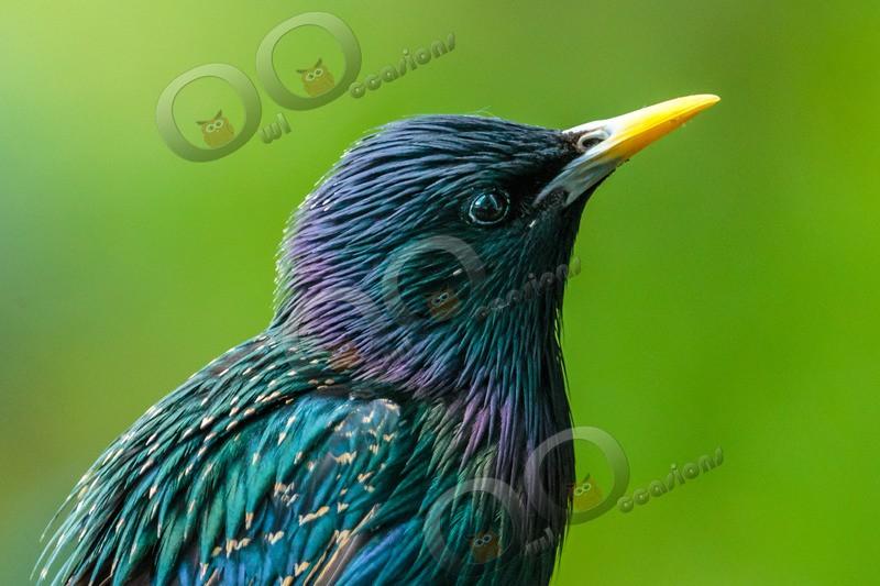 Starling Sturnus vulgaris-9987 - UK birds