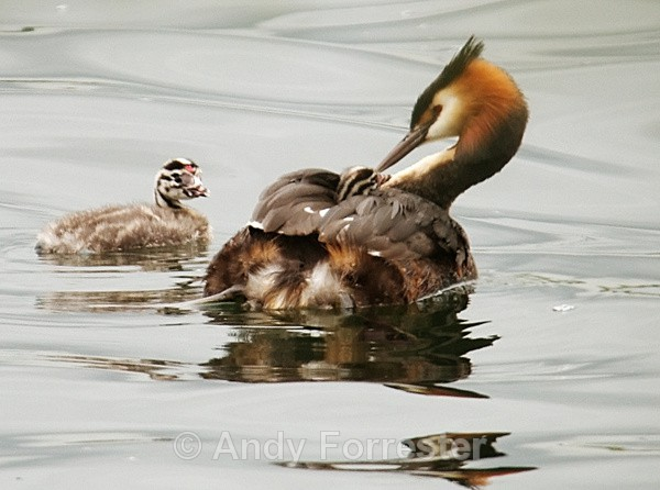 Where's my Cuddle? - Great Crested Grebes