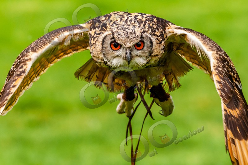 indian eagle owl bubo bengalensis-9613 - Owls of the World
