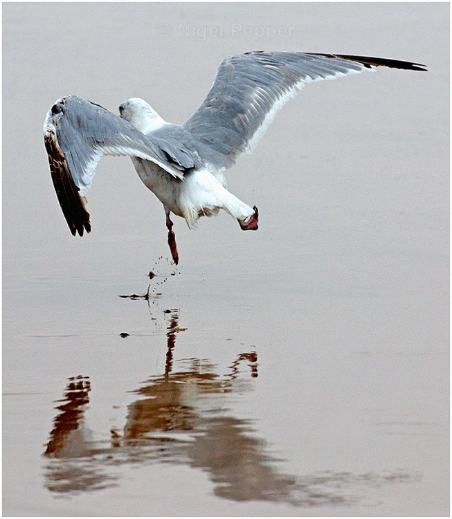 Perfect Reflection - Leggy the Herring Gull