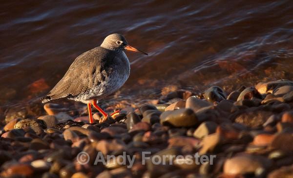 Redshank - Birds