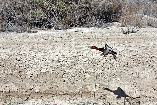Cinnamon Teal - Nevada Birds