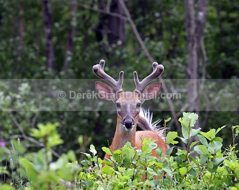 White-tailed Buck - Mammals, Reptiles & Amphibians