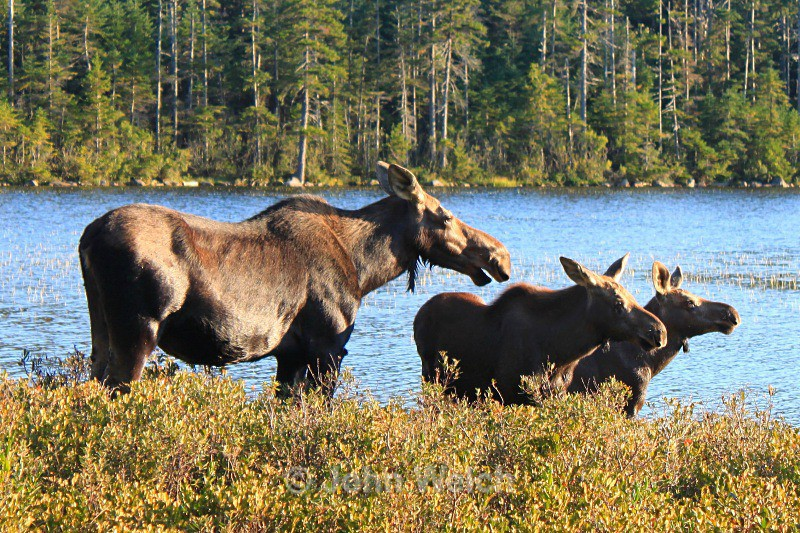 Moose Family - White Mountain National Forest and Northern New Hampshire