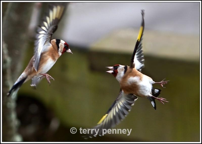 Goldfinch2 - Cardeulis cardeulis - Birds
