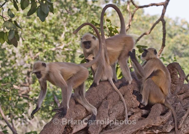 Langur Monkeys - Indian Tiger Safari Tour 08