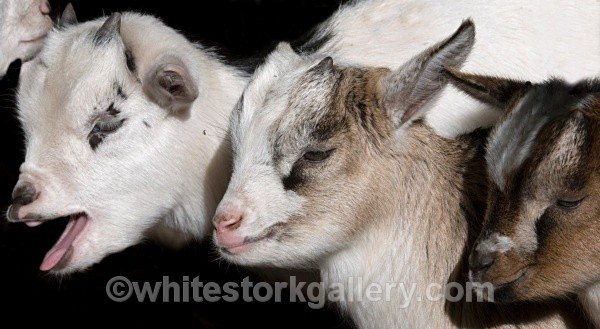 Young Goats - Wildlife and Animals
