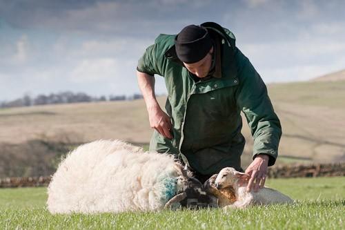 15 - The Lambing