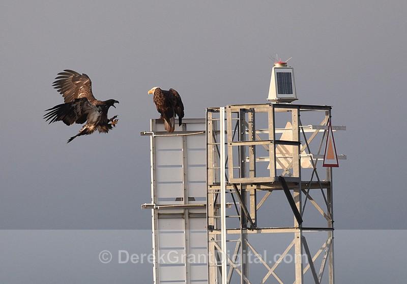 Kung Fu Eagle - Birds of Atlantic Canada