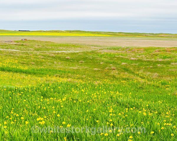 Fields of Yellow, Uist - Scottish Highlands