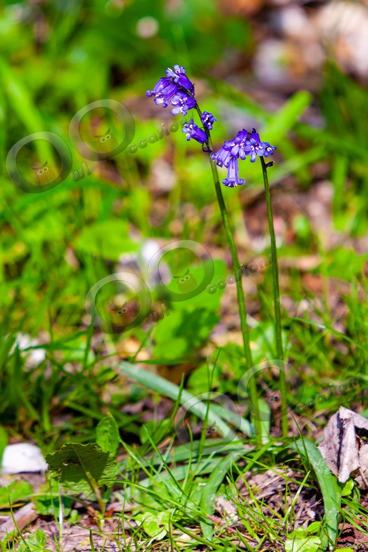 bluebell Hyacinthhoides non-scripta-8098 - Plants and trees