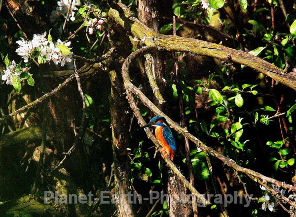 My First Kingfisher Shot - Kingfishers