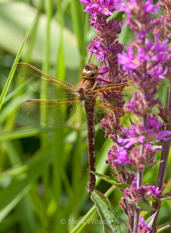 Brown Hawker - Mid-Wales - Animals
