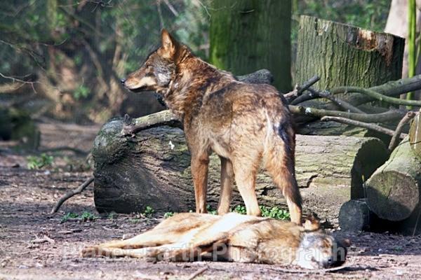 Iberian Wolves 8 - Wolves