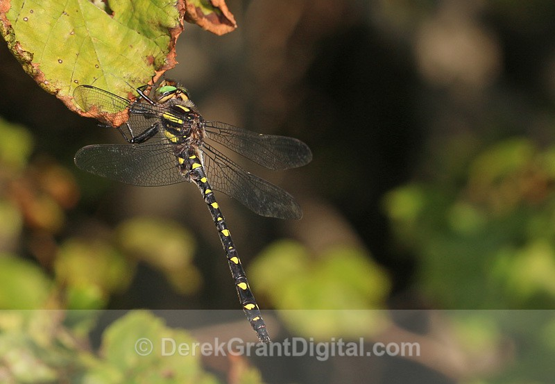 Cordulegaster maculata male - Dragonflies of Atlantic Canada
