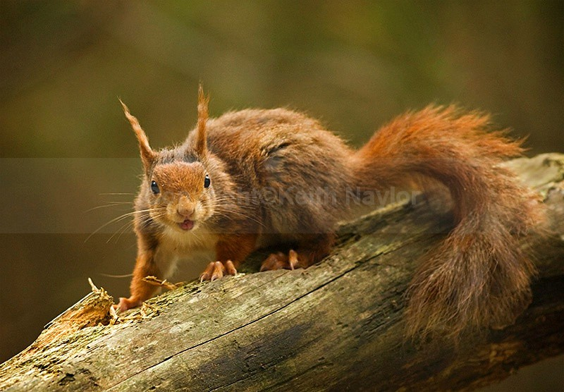 Red Squirrel 1Jun08 - 2008