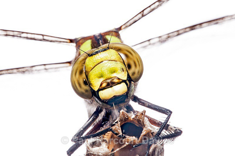 southern hawker (Aeshna cyanea) ♀ - Small Creatures - WB