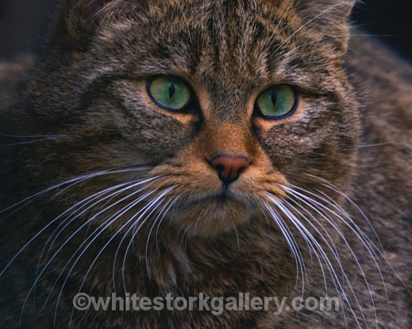 European Wildcat - Wildlife and Animals