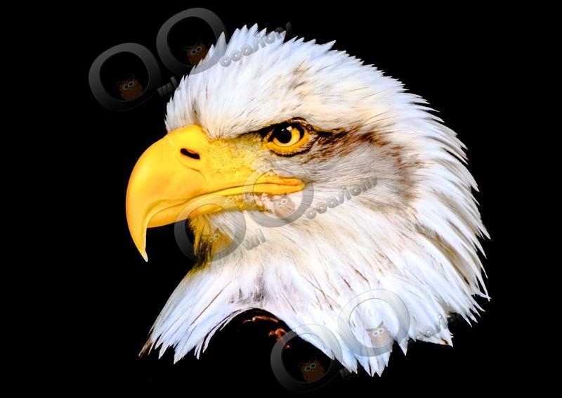Bald eagle Haliaeetus leucocephalus-00125755 - BoP from around the world