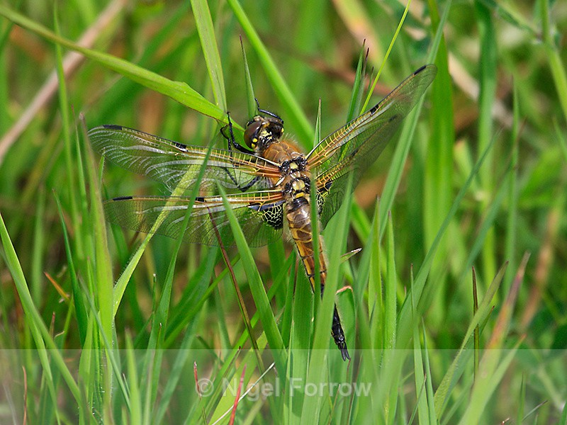 Four-spotted Chaser at Otmoor - INSECTS