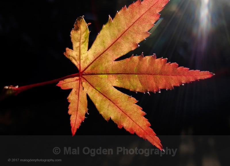 Maple - Flora & Fauna