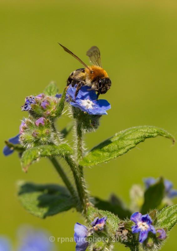 Bombus Hypnorum - RPNP0701 - Insects & Spiders