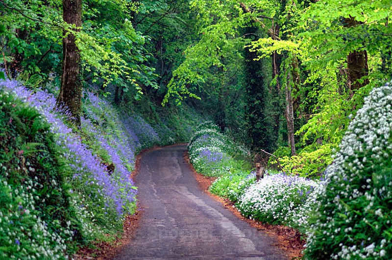 LO11 - Looe Greeting Card - Driving through the bluebell wood - Greetings Cards Looe