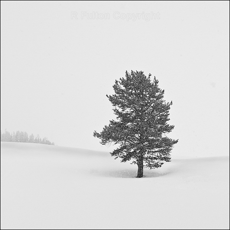 Tree in Snow - Yellowstone