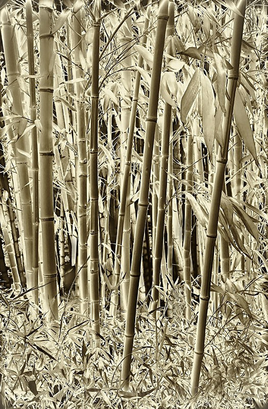 Bamboo-1595_3_4 Neg toned HDR - TREES, FLOWERS AND PLANT PHOTOS