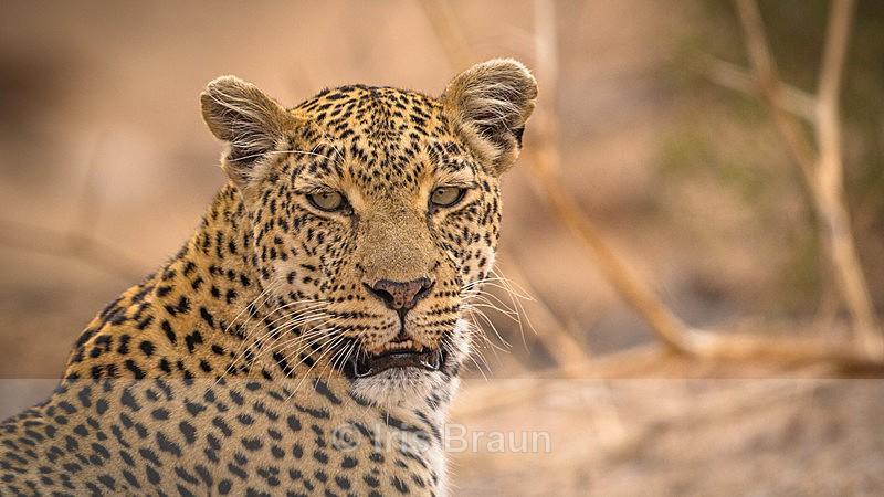 Portrait of a hunter - Leopard