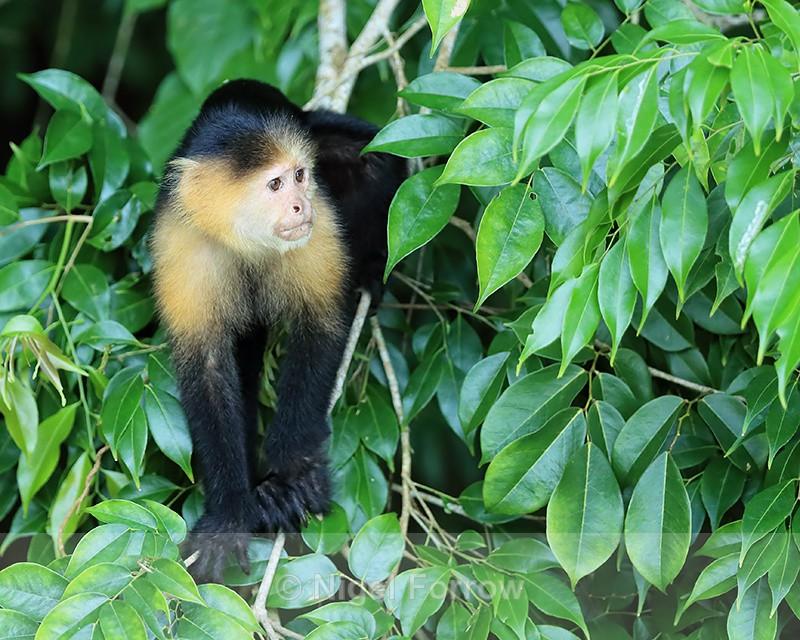 Capuchin monkey, Rio Chagres, Panama - Monkey