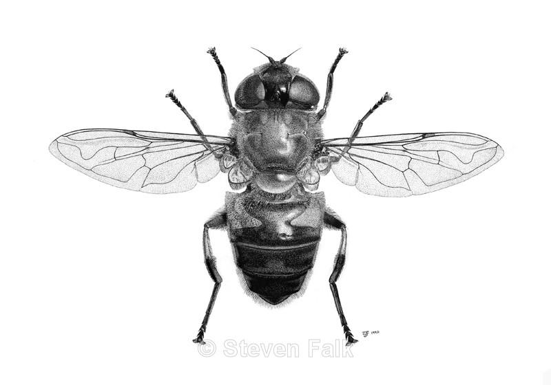 Hoverfly Eristalis similis - Flies