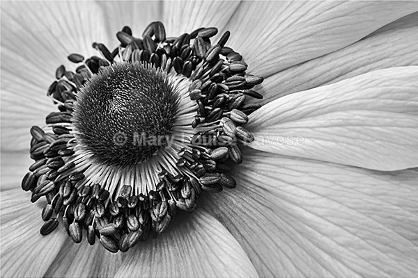 Windflower - Black and White