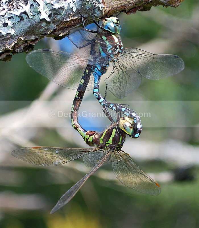 Aeshna constricta: Mating Wheel - Dragonflies of Atlantic Canada