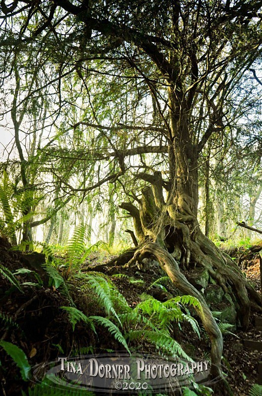 Yew Tree in Rock from Autumn Forest of Dean and Wye Valley Portfolio by Tina Dorner Photography