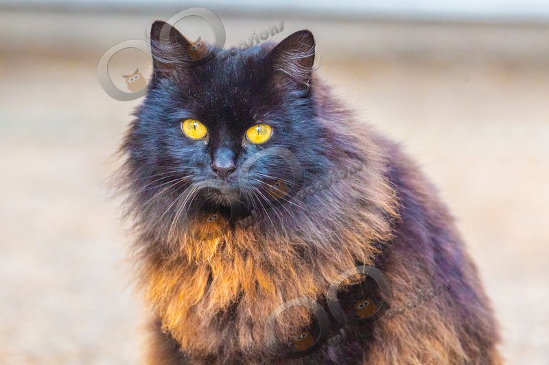 Black Cat_0285 - Pet Photography